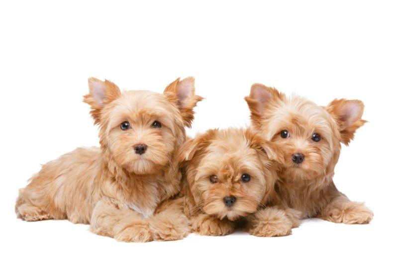 Собака йоркширский терьер характеристика породы