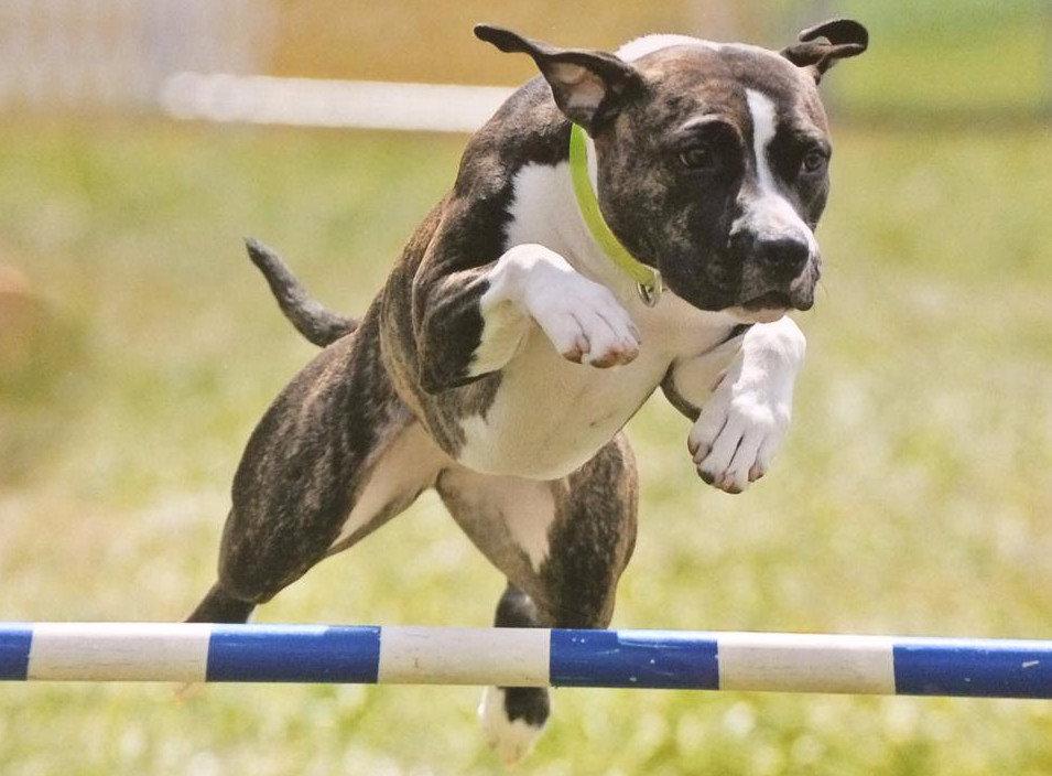 Дрессировка щенка американского стаффордширского терьера по месяцам