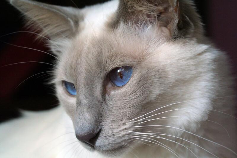 Балинезийская кошка или полинезийский кот
