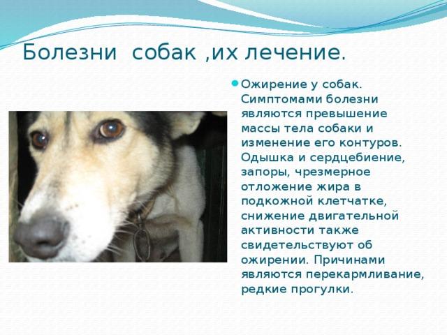 Чумка у собак — симптомы, инфекция и лечение