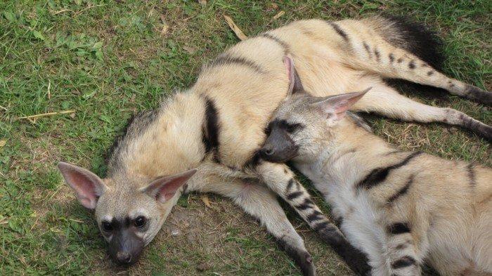 Земляной волк – фото, описание, ареал, рацион, враги, популяция