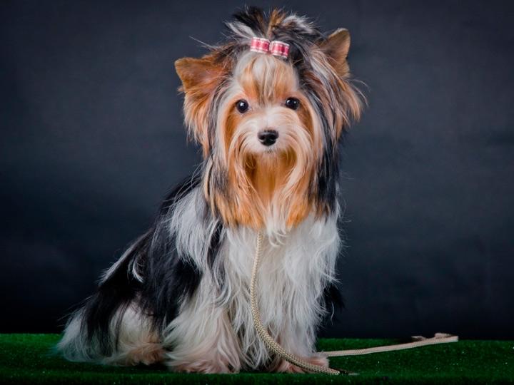 Бивер-йоркширский терьер (50 фото): описание породы, характер щенков и взрослых собак. отличия от йоркширского терьера. популярные стрижки