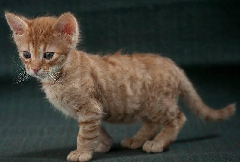 Американская жесткошерстная кошка: описание породы