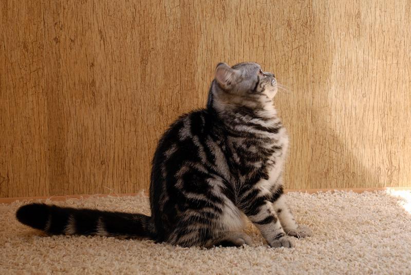 Трехцветная кошка. описание, особенности, приметы и породы трёхцветных кошек | живность.ру