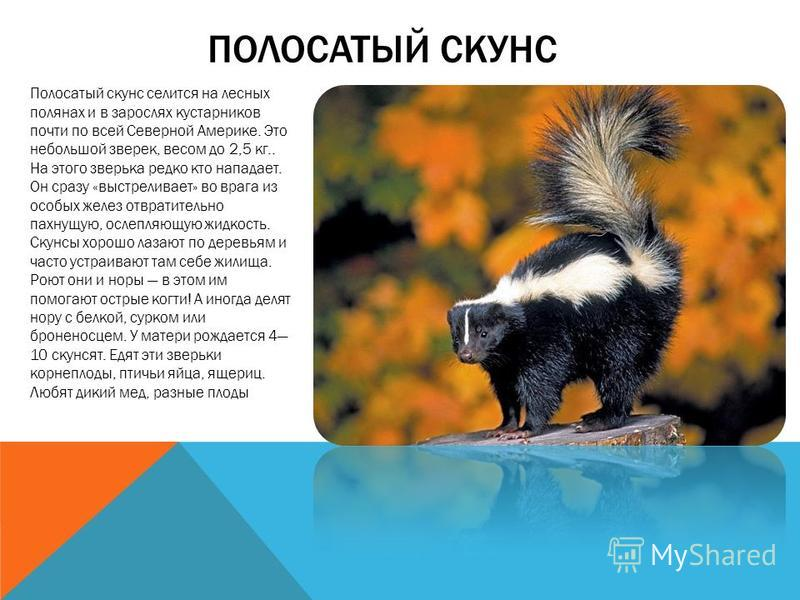 Семейство куньих: представители и их описание (фото) :: syl.ru