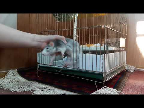 Как ухаживать за декоративной крысой - все про крыс
