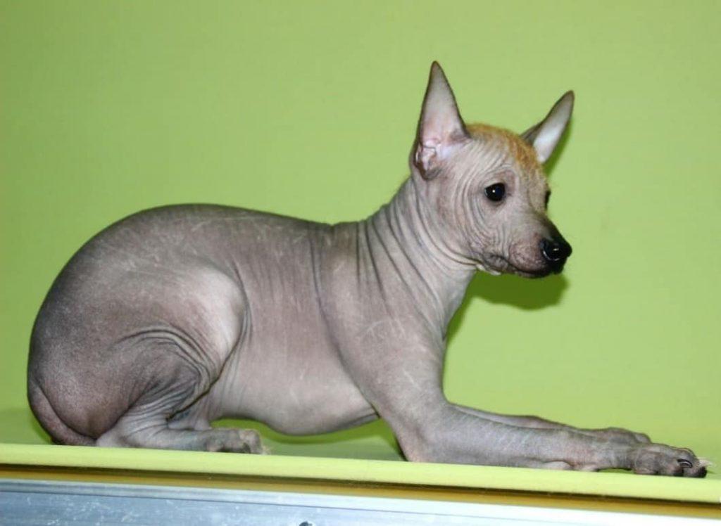 Мексиканская лысая собака породы ксолоитцкуинтли: стандарт, описание, внешность
