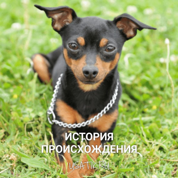 Порода собак пинчер описание, разновидности с фото, содержание и уход, цена