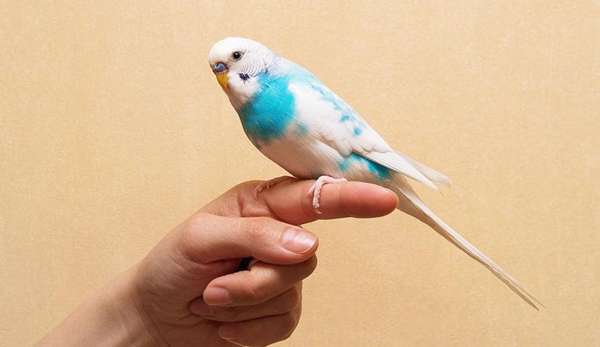 Самый легкий и правильный способ как приручить волнистого попугая к рукам