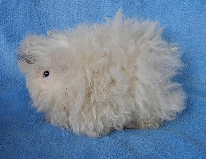 Длинношерстная свинка (морская): список пушистых пород домашних грызунов