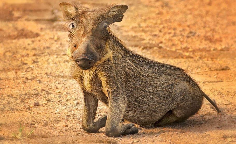 Бородавочник (африканская свинья): фото, описание, образ жизни