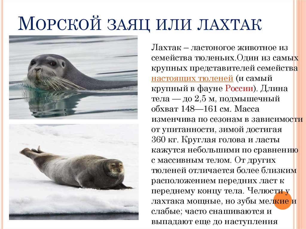 Морской заяц, лахтак. ластоногие. erignathus barbatus, морской заяц, лахтак
