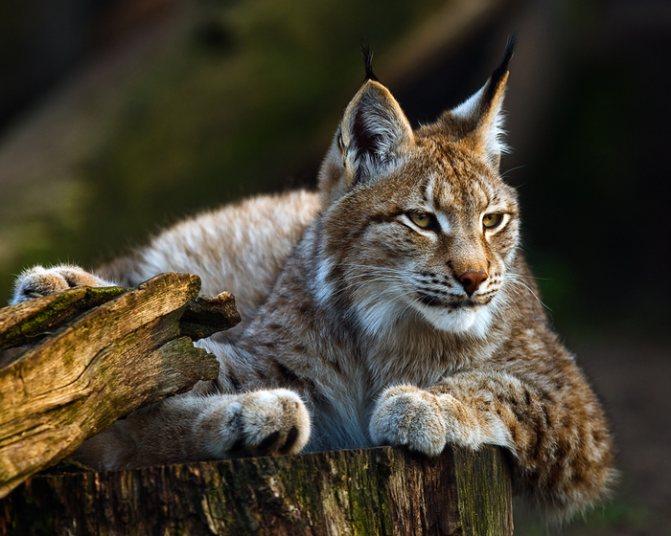 Топ-10 пород кошек – бобтейлы и мэнксы – как отличить одного кота от другого.