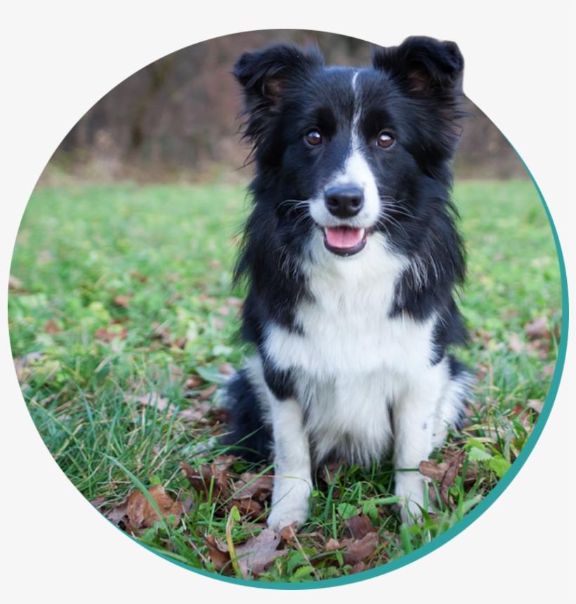 Бордер-колли описание: характер породы, фото собаки, щенки колли бордер