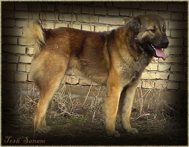 Кавказская овчарка волкодав: характеристика породы