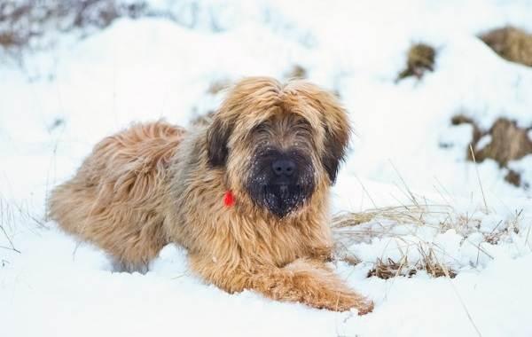 Босерон французская овчарка фото, описание породы собак, отзывы