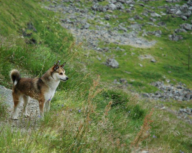 Норвежский лундехунд: описание породы, характер, где купить, цена, фото, видео
