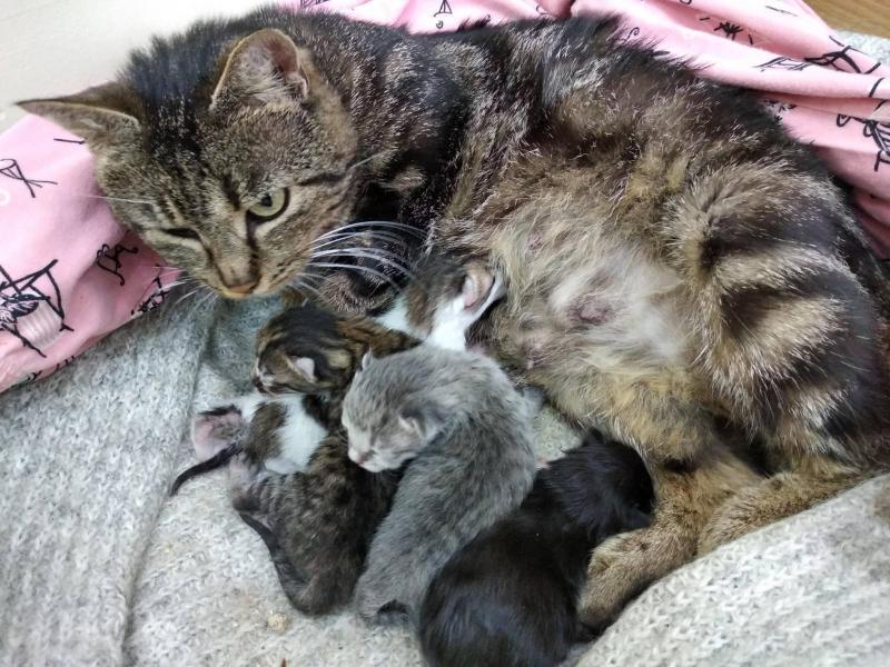 Внутриутробное развитие котят
