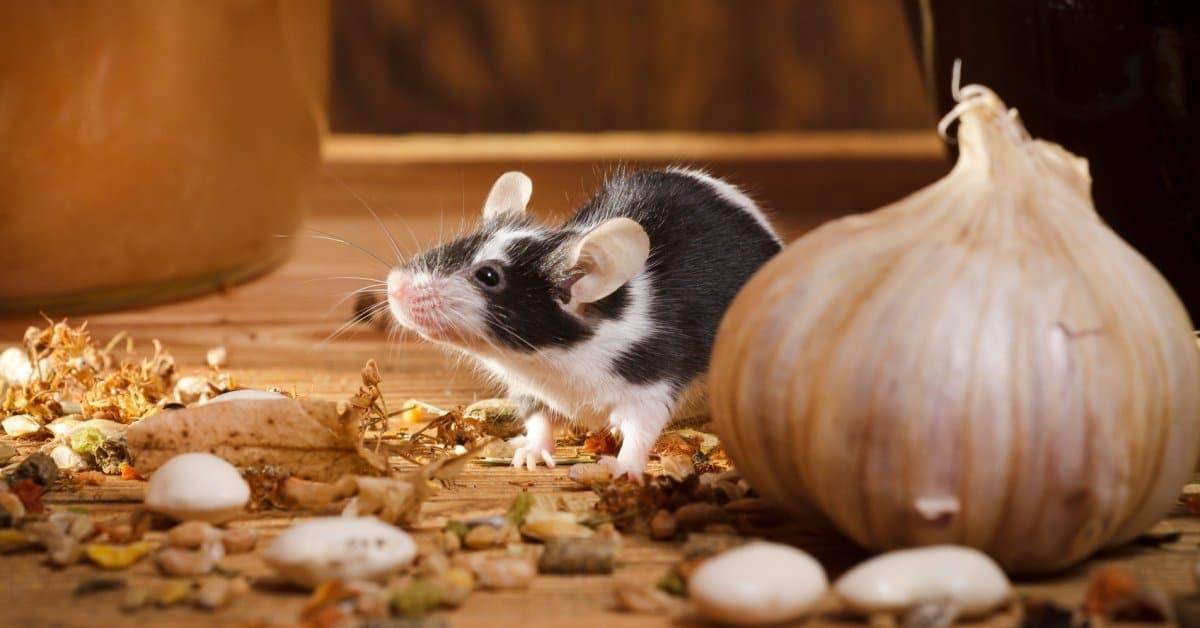 Kакой запах не переносят мыши и крысы: 20 народных средств