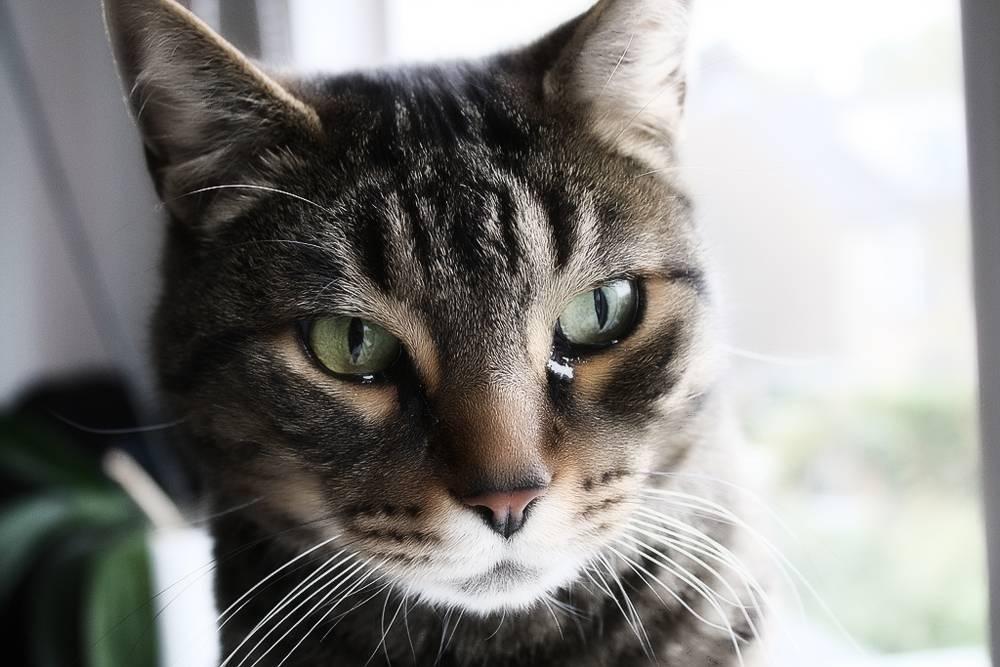 Выпадение третьего века у кота: причины и лечение | ветклиника зоостатус