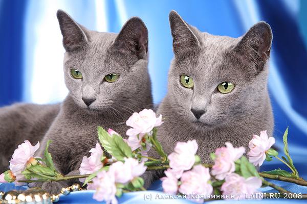 Русская голубая кошка: все о кошке, фото, описание породы, характер, цена