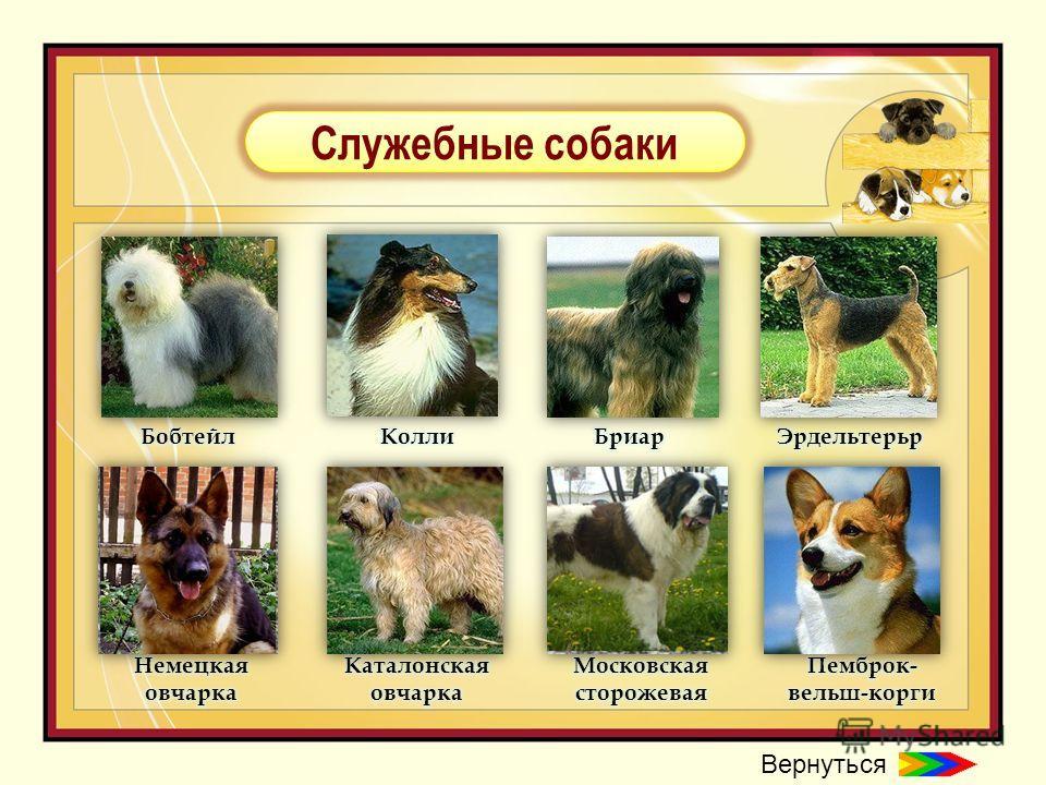 Служебные породы собак: список с фотографиями и названиями