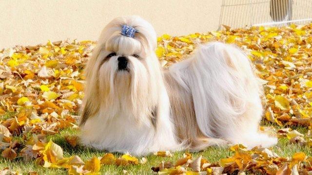 Ши-тцу: описание породы, характер собаки и щенка, фото, цена
