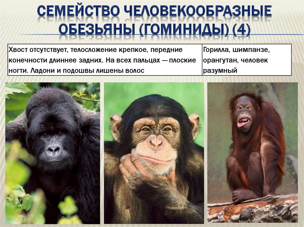 Малые человекообразные обезьяны. гиббоновые, малые человекообразные обезьяны. hylobatidae gray, 1870 = гиббоновые, малые человекообразные обезьяны, гиббоны