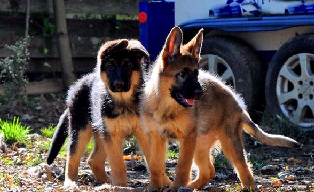 Когда у щенка немецкой овчарки встают уши?