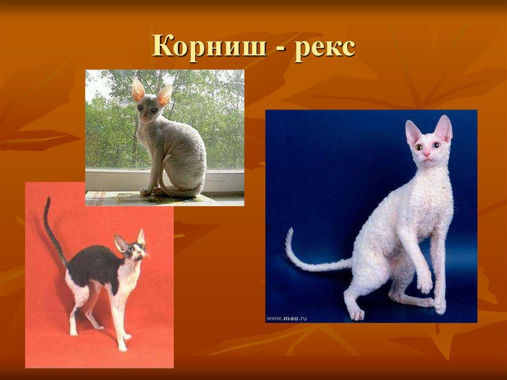 Кошки породы девон-рекс: цена котят, фото, содержание, уход, сколько живут, что едят, как выглядят