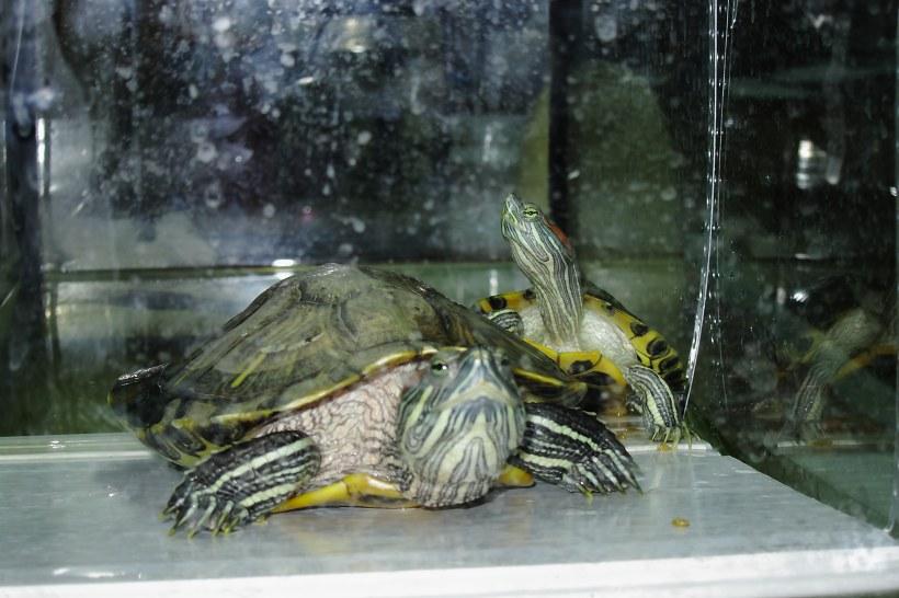 Правильная спячка красноухой черепахи в домашних условиях