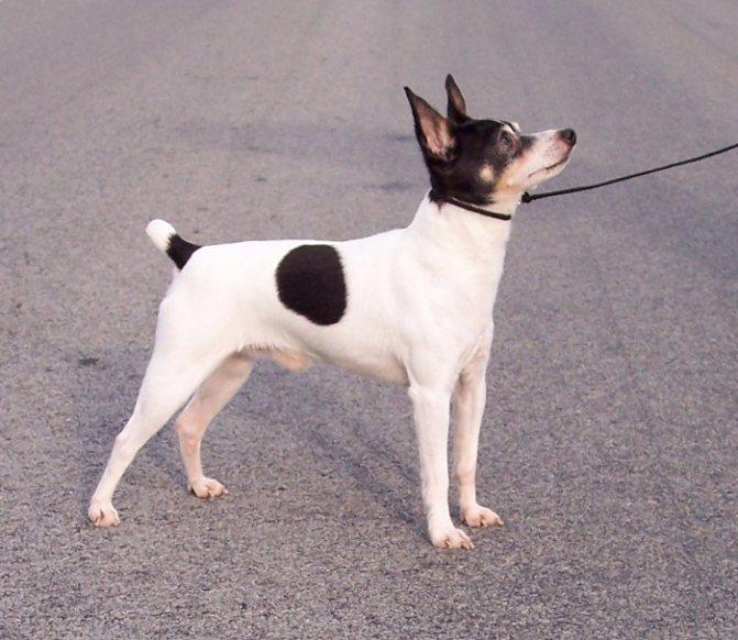 Фокстерьер гладкошерстный и жесткошерстный фото, описание породы, цена щенков, отзывы
