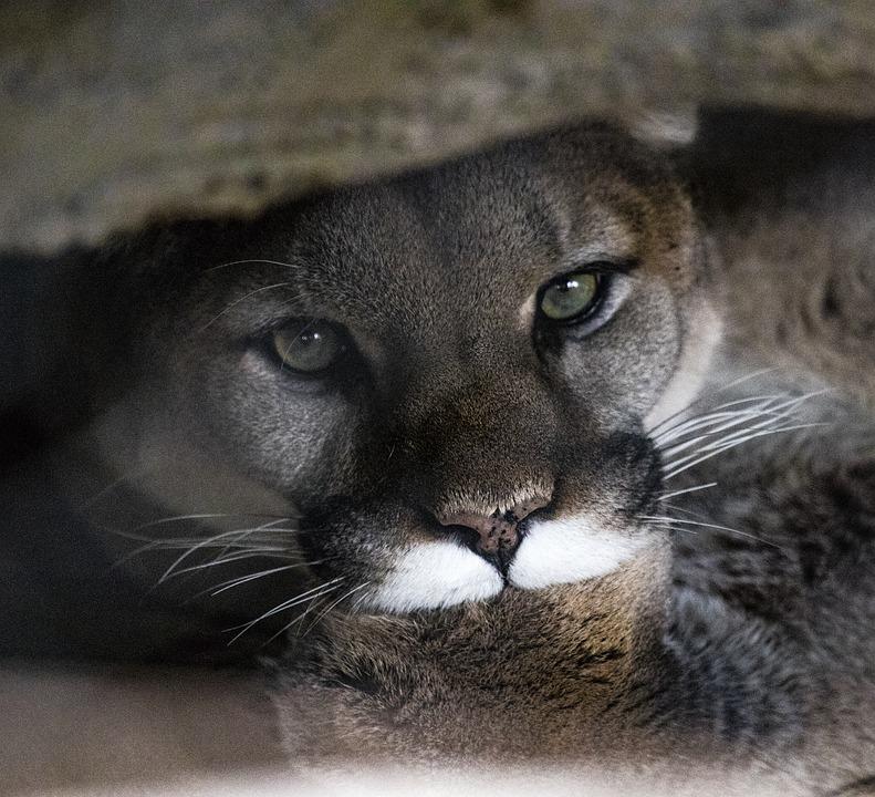 Кошка сервал: описание, характер, фото, уход и содержание породы