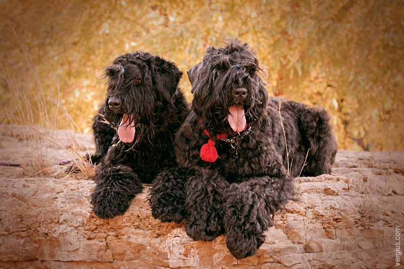 Характеристика породы собак черный терьер, фото и отзывы заводчиков характеристика породы собак черный терьер, фото и отзывы заводчиков