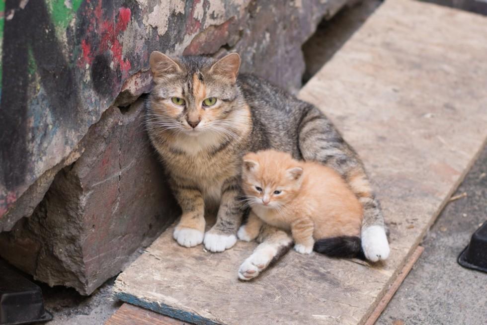 Двортерьер кошка что за порода