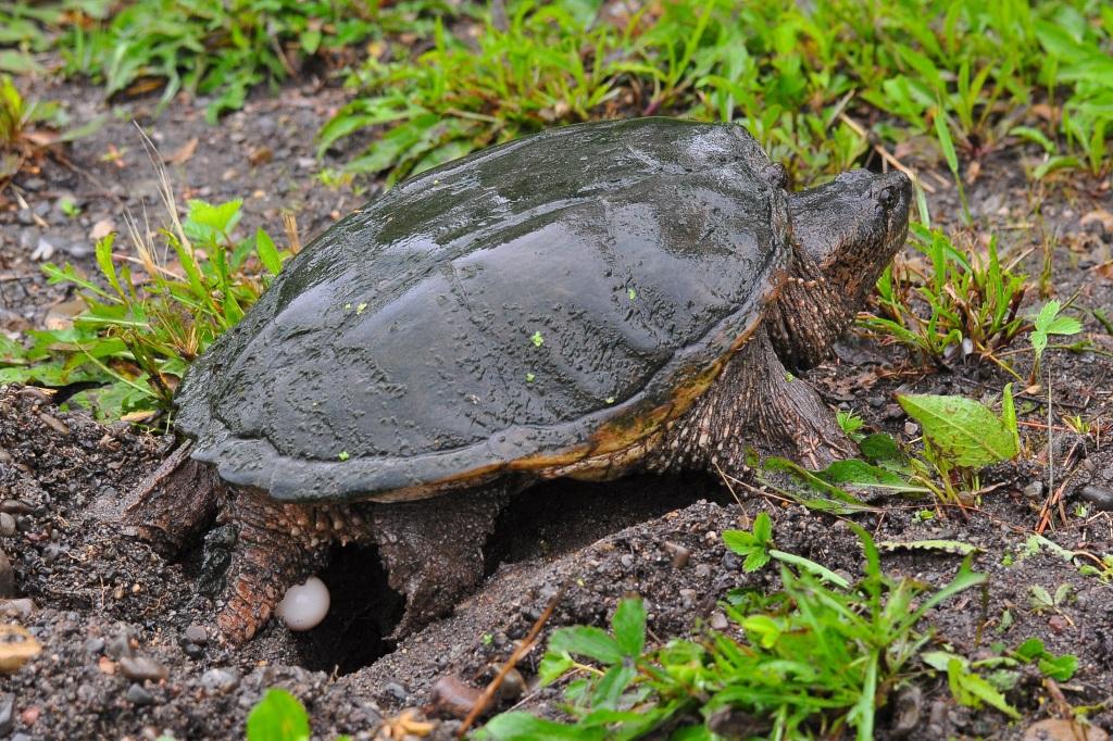 Каймановая черепаха – фото, описание, ареал, рацион, враги, популяция