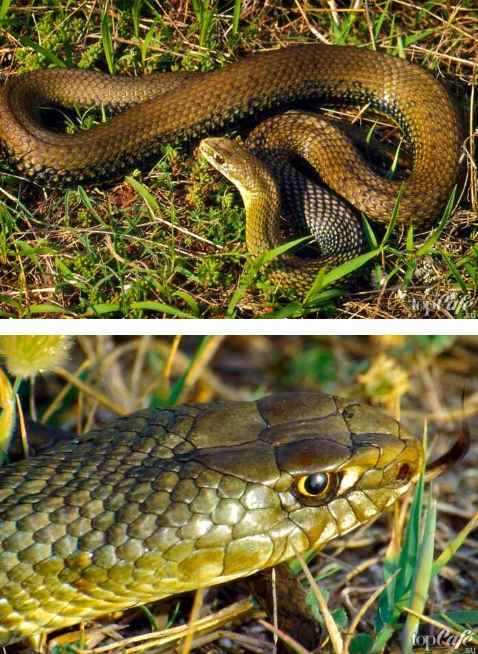 Неядовитые змеи: какие рептилии не опасны для человека