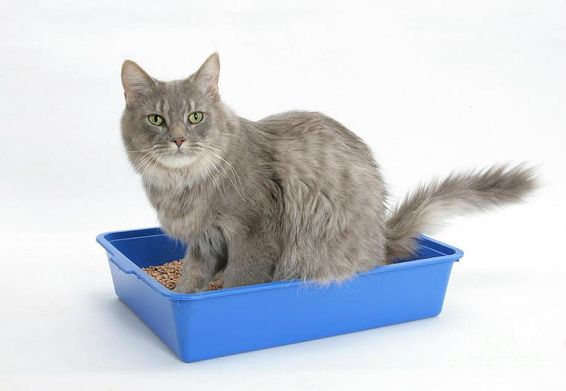 Берем в дом кошку: как приучить животное к лотку?