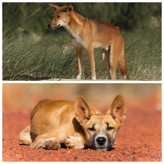 Дикие собаки динго (лат. canis lupus dingo), фотографии динго