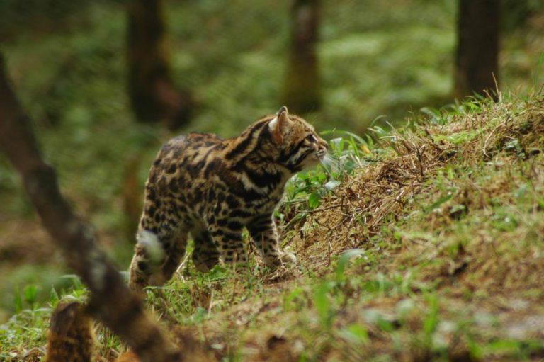 Сервал: большая и дорогая домашняя кошка