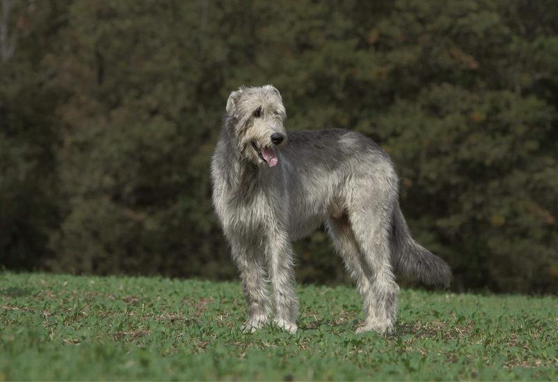 Содержание волкодава: описание породы, уход, фото собак