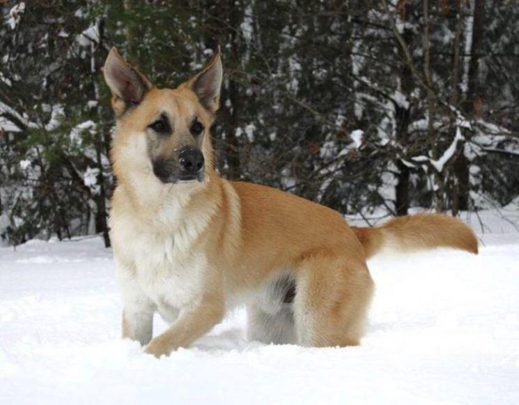 Чинук — собака с прекрасными рабочими качествами