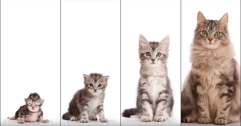 Окрас бенгальских кошек меняется с возрастом