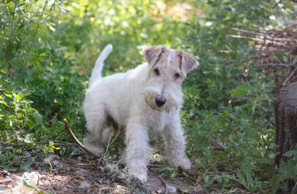 Фокстерьер собака. описание, особенности, содержание, уход и цена породы фокстерьер | живность.ру