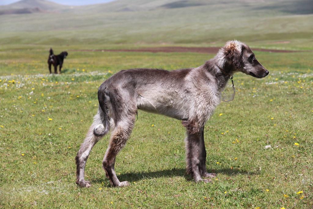 Все киргизские породы собак