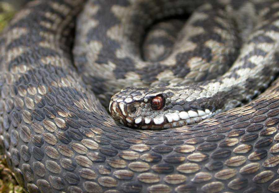 Гадюка змея. описание, особенности, виды, образ жизни и среда обитания гадюки   живность.ру