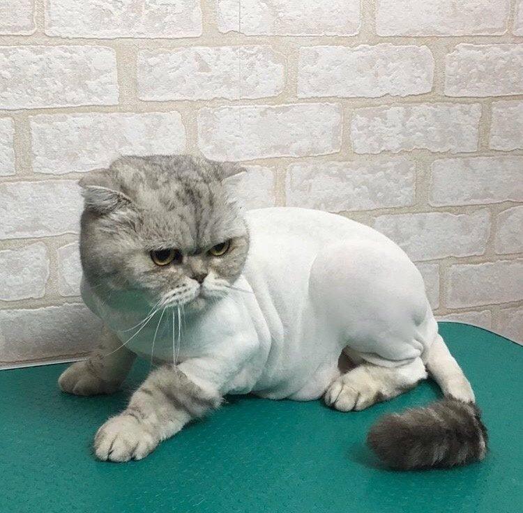 Можно или нельзя стричь британских кошек?