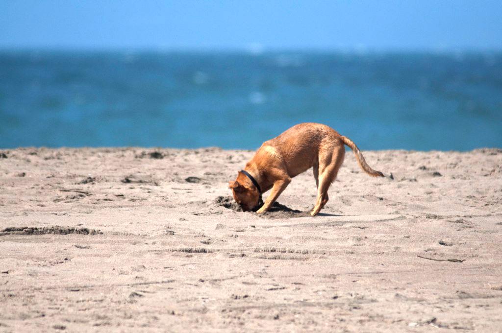 Почему собака роет ямы во дворе: что делать