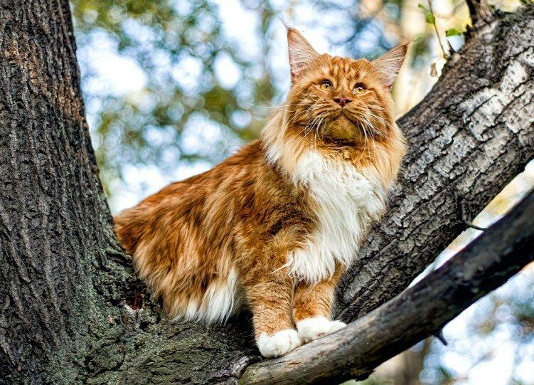 Стоит ли заводить мейн куна в квартире: содержание большой домашней кошки дома