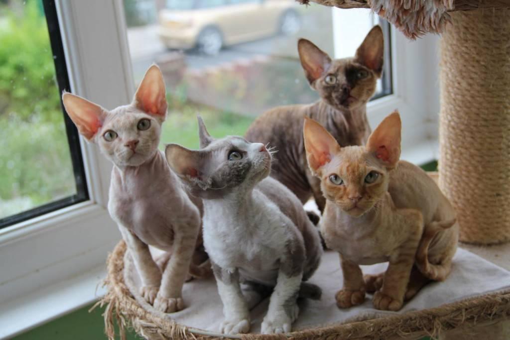 Топ-10 самых гипоаллергенных кошек - wlcat.ru